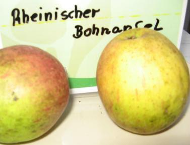 Apfel Rheinischr Bohnenapfel Foto Brandt
