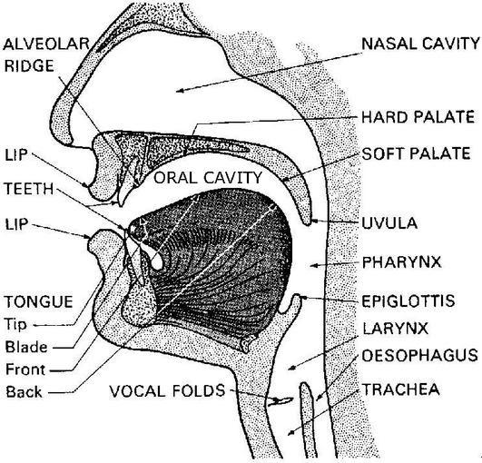 Oral Cavity Diagram