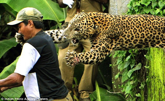 Lunging: Jaws open and claws outstretched, the leopard launches itself as its prey - but the unsuspecting forest guard still doesn't know he's under attack