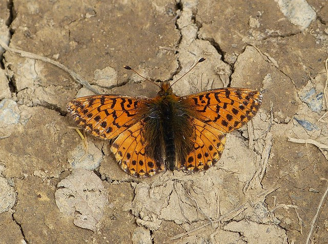 Mountain Fritillary, Switzerland