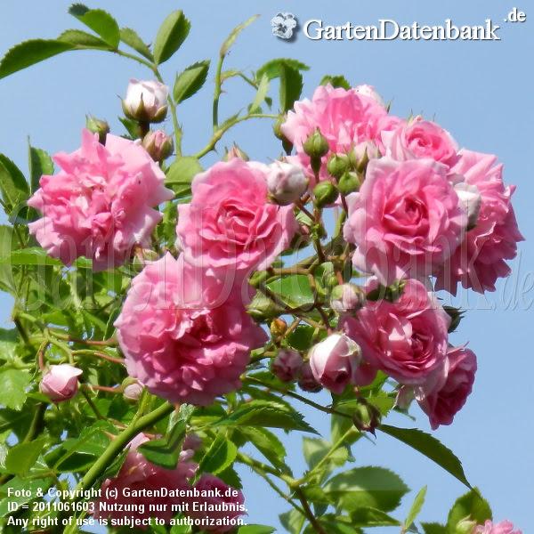 Rose 'Super_Dorothy'