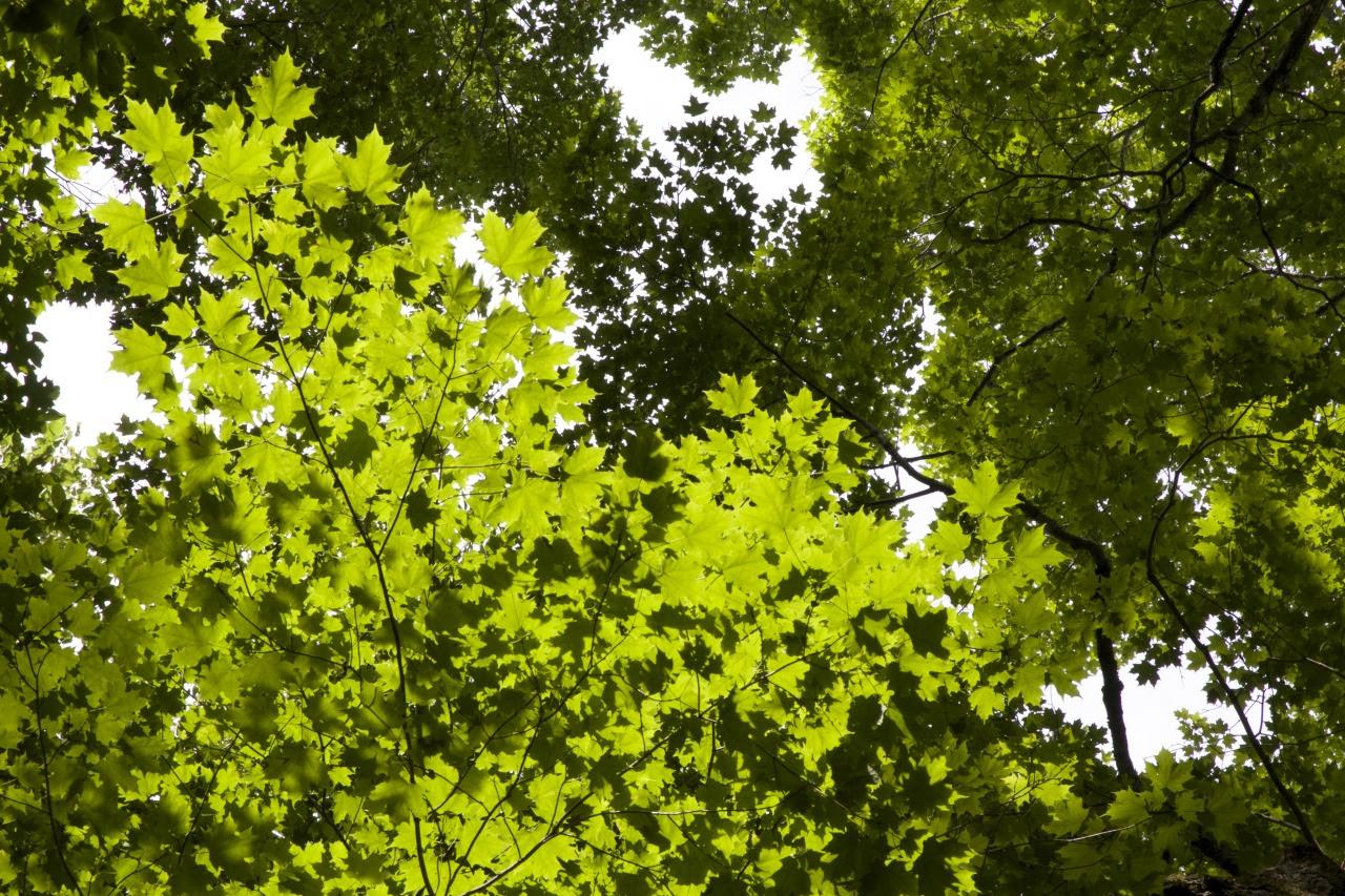 korony drzew, axis mundi, drzewa, oś świata