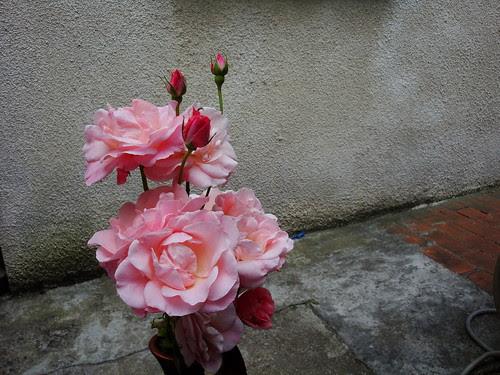 Rose roses-22