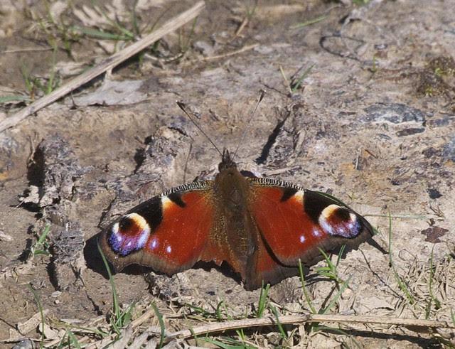 DSC_6419 Peacock butterfly