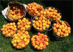 Blenheim apricot harvest, 2008