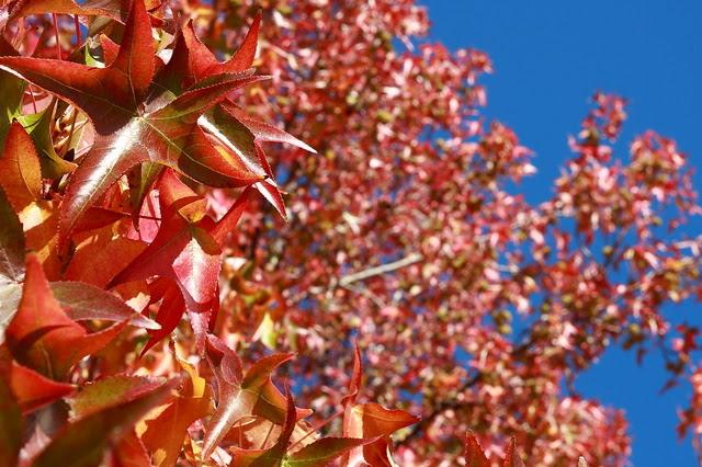 楓紅(Maple)