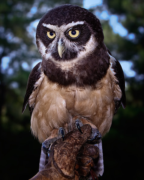 Spectacled OwlCenter for Birds of Prey, Awendaw, South Carolina