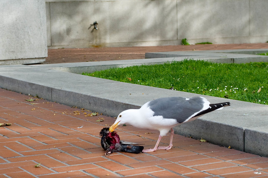 Sea Gull Eating Pigeon Joi Ito Flickr