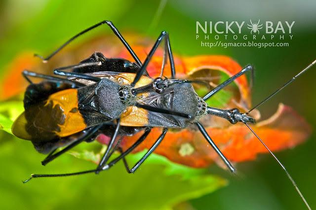 Assassin Bug (Reduviidae) - vDSC_8184