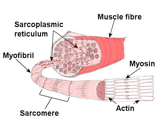 muscle_fibre_large