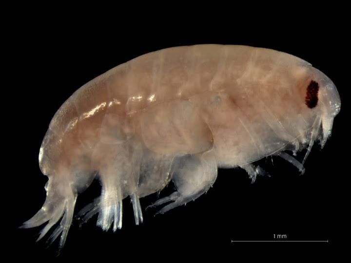 pulga de mar