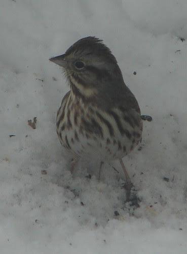 Fox Sparrow Again