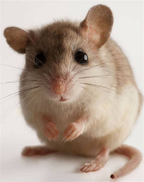 Get rid of mice: The signs of house mice   what does a mouse eat and how to trap them?   Life