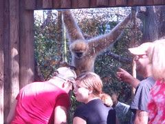 gibbon watching