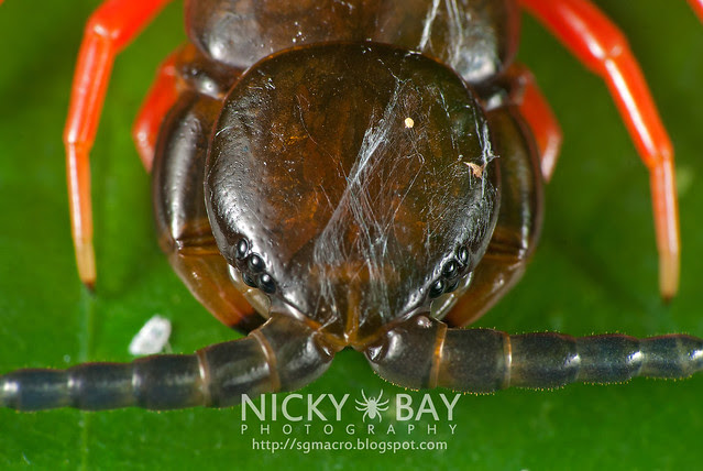 Centipede (Chilopoda) - ESC_0052