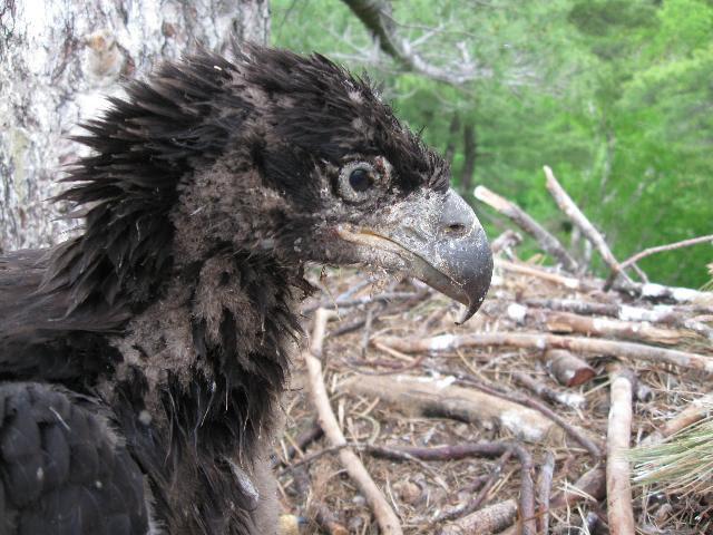 Eagle, baby