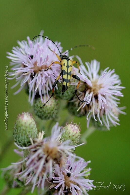 Rutpela maculata