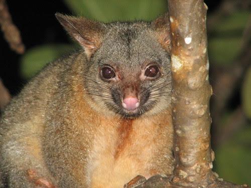 Possum at Darwin Sailing Club