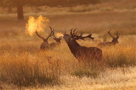 red deer stag richmond park surrey explored