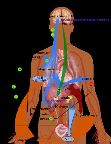Η ομοιόσταση μπορεί να ρυθμίσει την αρτηριακή πίεση στο σώμα μας