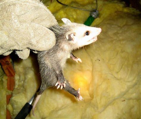 Opossum Inside The Home Attic   Orlando