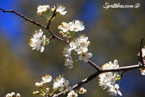 spring-branches