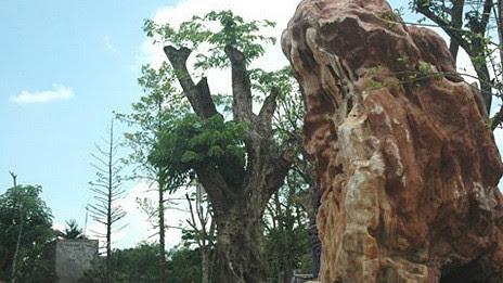 Cây sưa trăm tuổi và hòn đá quý trong khu nhà vườn (Ảnh: GDVN)