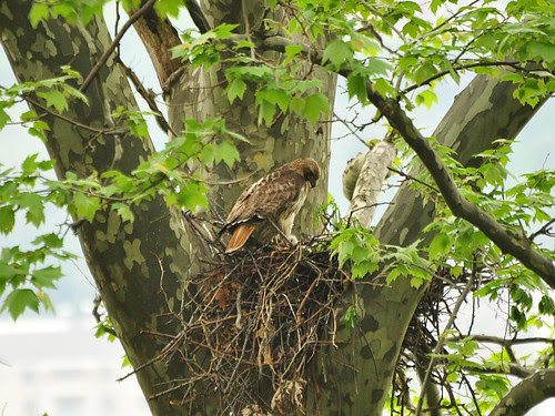 Mama Red-Tail and Nestlings