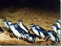 Fairy Penguins kat Summerland Beach, Penguin Parade, Philip Island, Australia