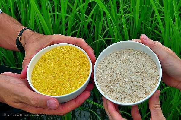Vitamin A-rich Golden Rice Beams in Rich Yellow