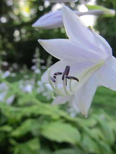 Hosta bloomers (03)