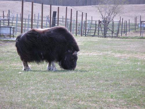 Musk Ox Farm
