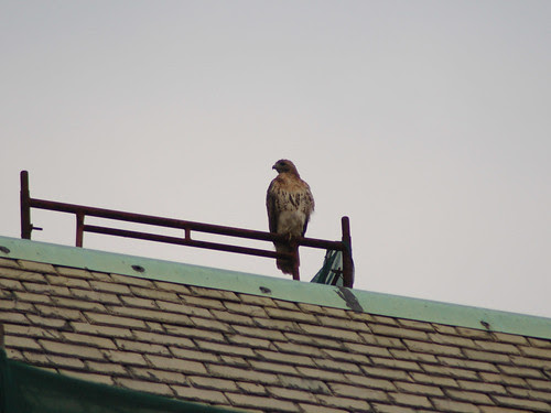 Red-Tailed Hawk atop Cathedral School