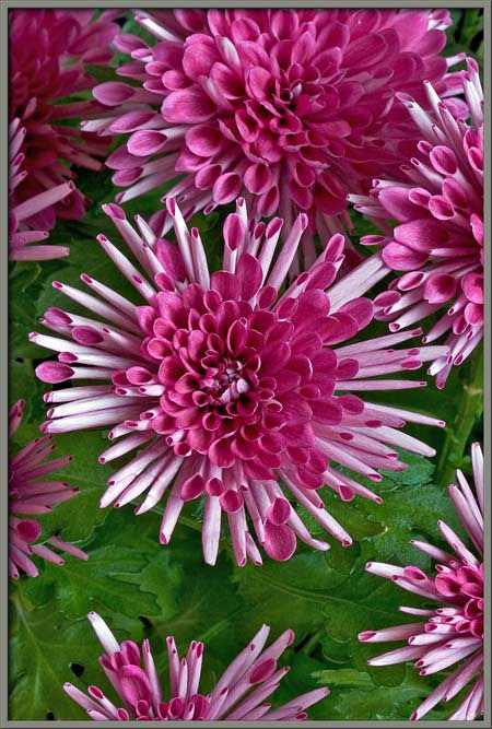 Mic Uk A Close Up View Of The Chrysanthemum