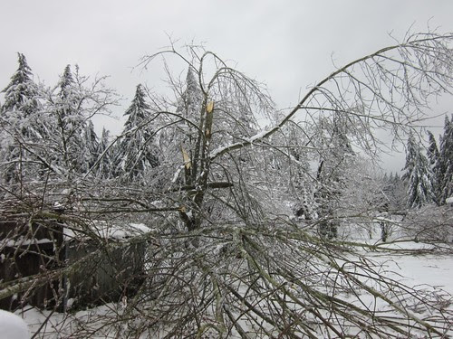 Fallen tree in my backyard