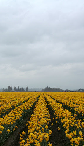 Daffodil fields, La Conner, WA