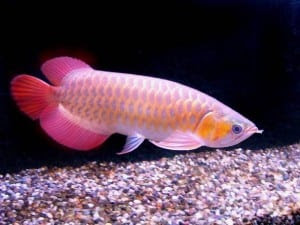 Tropical Fish Profiles  Tropical Fish Site