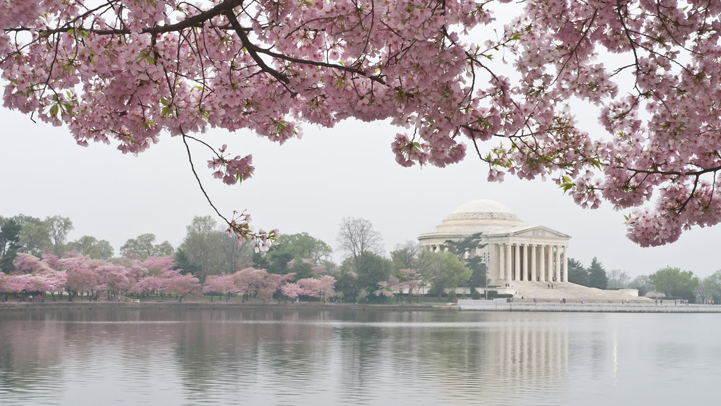 Jefferson Memorial, Cherry Blossoms, by Reed A. George
