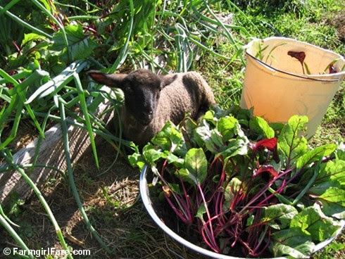 Thinning beet greens in the kitchen garden with baby Cary - FarmgirlFare.com