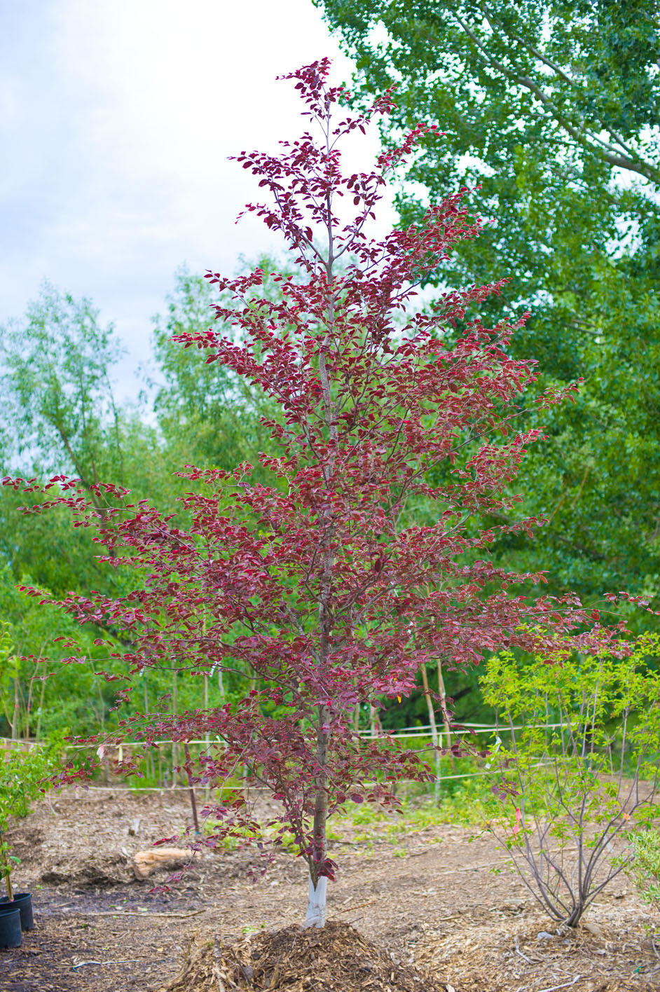 Beech Tricolor For Sale In Boulder Colorado