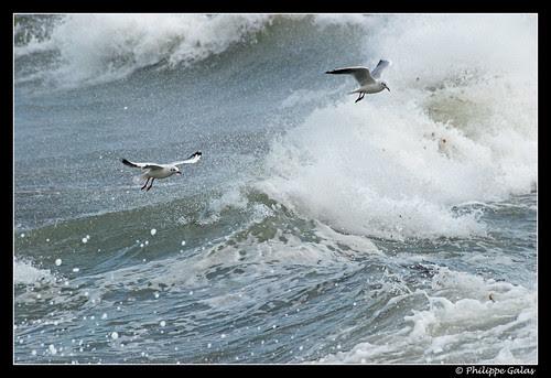 Les oiseaux dans les vagues