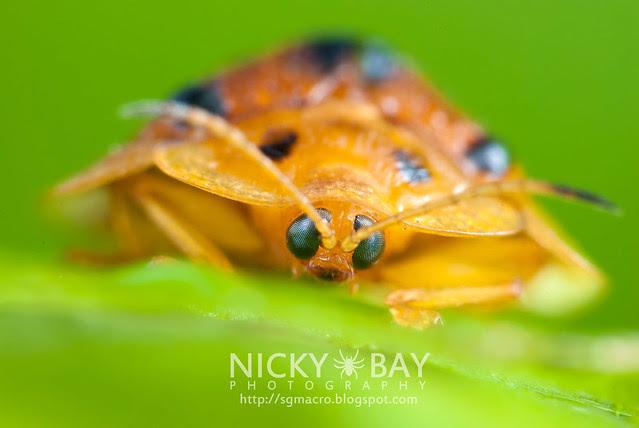Tortoise Beetle (Hispinae) - DSC_4936
