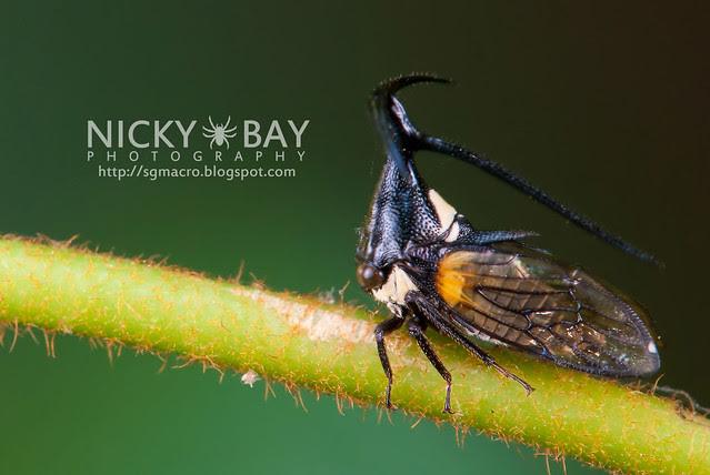 Treehopper (Membracidae) - DSC_2258