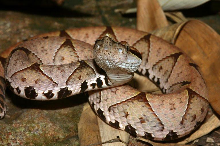 Resultado de imagem para Hundred-pacer viper