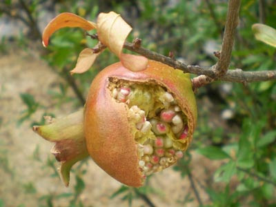 Pomegranate How To Grow A Pomegranate Tree Pomegranate Tree Care