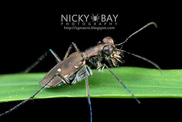 Tiger Beetle (Cicindelinae) - DSC_0742