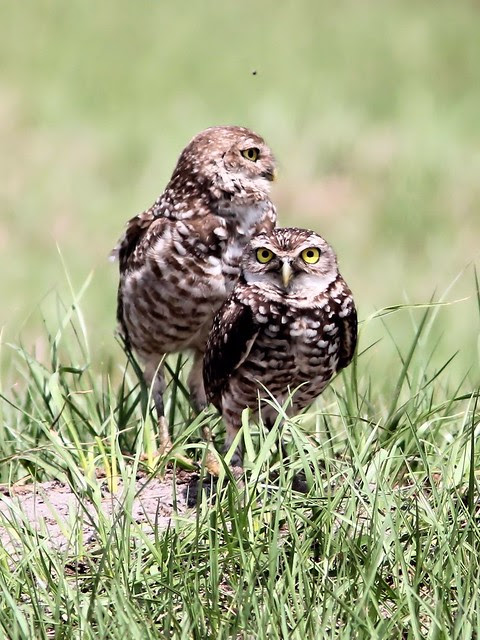 Burrowing Owls 2-20130414