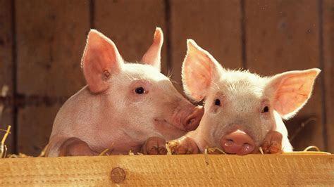 Baby Pigs Wallpapers   WallpaperSafari