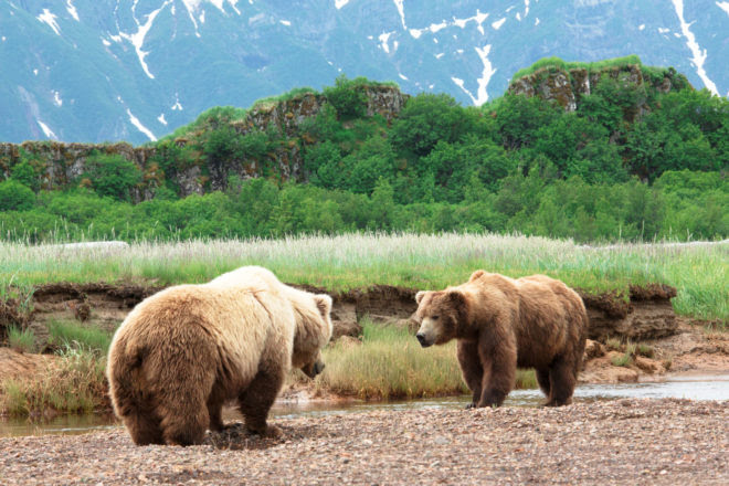 Grizzly bear encounters in the Alaskan wilderness  International