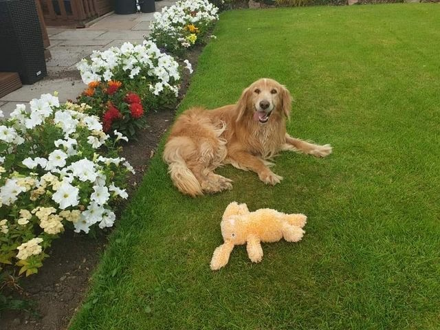 Toby – 4-7 year old male Retriever Cross